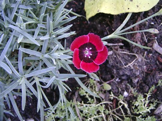 Eastern Star Pinks (Dianthus 'Red Dwarf')