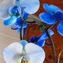 colorfuze Phalaenopsis Orchid (Phalaenopsis aphrodite)