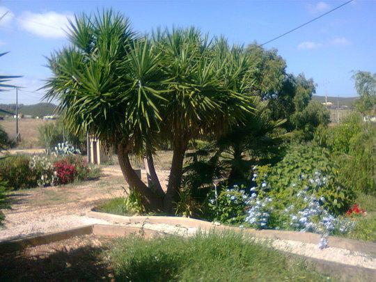 large yucca and plumbago