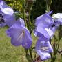 Campanula 'Telham Beauty'