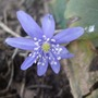 Hepatica_transsylvatica