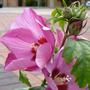 Hibiscus syr 'Woodbridge' 2