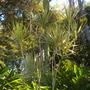 Dracaena marginata 'Tricolor'  -  Dracaena (Dracaena marginata 'Tricolor'  -  Dracaena)