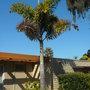 Wodyetia bifurcata - Foxtail Palm (Wodyetia bifurcata - Foxtail Palm)