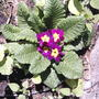 Primroses are still blooming (Primula vulgaris)