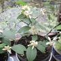 Lemon bush flowers (citrus lemon)