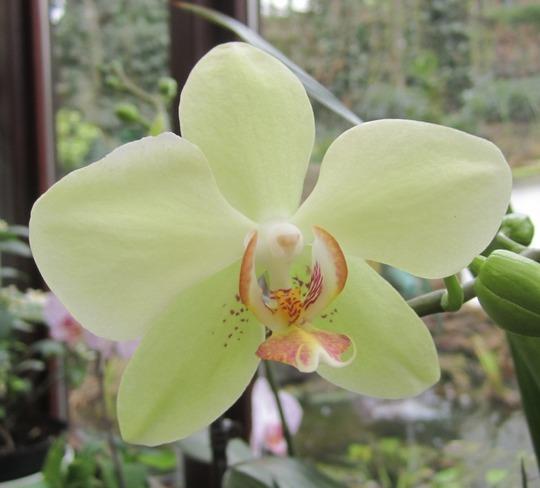 Yellow phal flower.