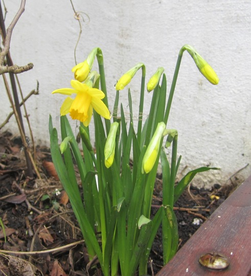 Miniature daffy flowering at last...yippee!