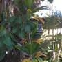 Cordyline terminalis - Green Ti Leaf Plant & Meryta sinclairii - Puka Tree (Cordyline terminalis - Green Ti Leaf Plant & Meryta sinclairii - Puka Tree)