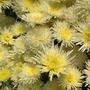 half white chrysanthemum
