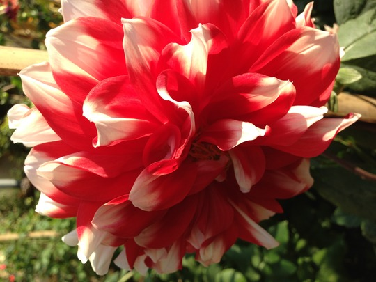 double shaded dahlia