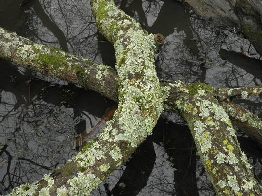 Likey lichen