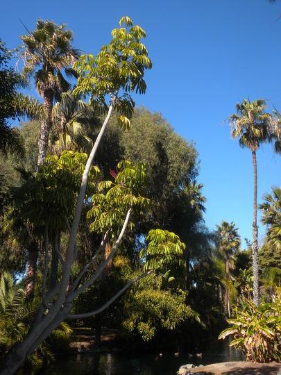 Schefflera actinophylla - Umbrella Tree (Schefflera actinophylla - Umbrella Tree)