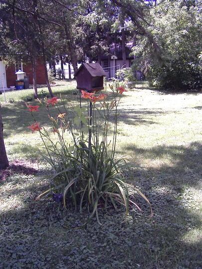 Daylilies around one of the feeders (Hemerocallis fulva (Chin Chen TsAi))