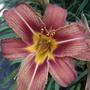 Daylily bloom (Hemerocallis fulva (Chin Chen TsAi))