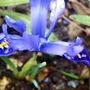 Iris blue.