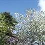 Ornamental Cherry Blosssom 26Apr'09 (Prunus 'Shirotae')