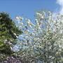 Ornamental Cherry Tree Blossom 26Apr 09 (Prunus 'Shirotae')