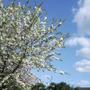 Ornamental Cherry Blossom Again 26Apr 09 (Prunus 'Shirotae')
