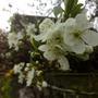 Bramley Apple Blossom  02Apr '11 (Malus domestica)