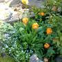 Tulip 'Triumph' Mixed Spring '11 (Tulipa)