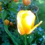 Tulip 'Triumph' Close-Up Spring '11 (Tulipa)