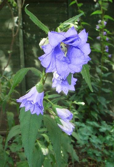 Campanula_trachelium_-_double_blue_form.jpg (Campanula trachelium)