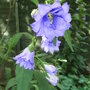 Campanula_trachelium_double_blue_form