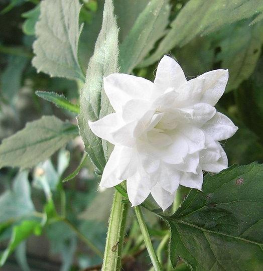 Campanula_trachelium_-_double_white_form.jpg (Campanula trachelium)