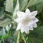 Campanula_trachelium_double_white_form