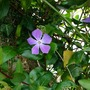 A bit of peri.. (Vinca major (Greater Periwinkle))