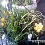 Crocuses on balcony in flower 05-03-2013 001 (Crocus chrysanthus (Crocus))