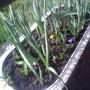 Daffodils on balcony with buds & Crocuses 05-03-2013 001 (Daffodil)