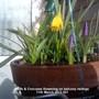 Daffs & Crocuses flowering on balcony railings 11-03-2013 001 (Daffodil)