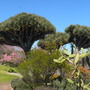 Dracaena draco - Dragon Tree (Dracaena draco - Dragon Tree)