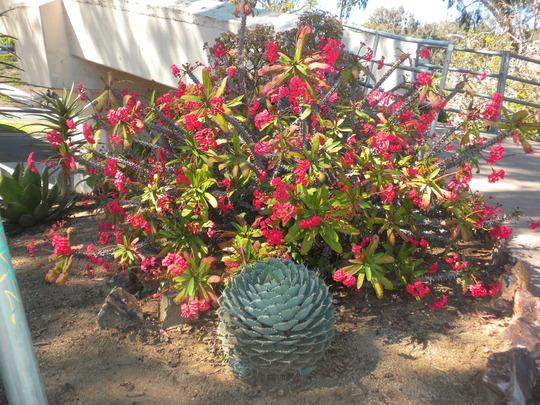 Euphorbia milllii - Crown-of-Thorns (Euphorbia milllii - Crown-of-Thorns)