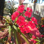 Euphorbia milllii - Crown-of-Thorns (Euphorbia milllii - Crown-of-Thorns)