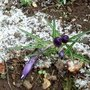 Crocuscontortedhazelbedviistabile11mar_13
