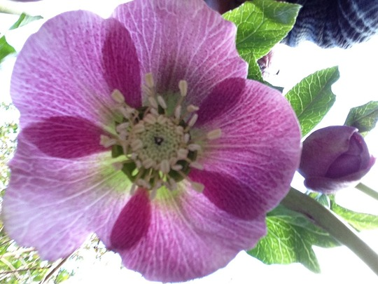 Underneath the Hellebore... La la la la la........
