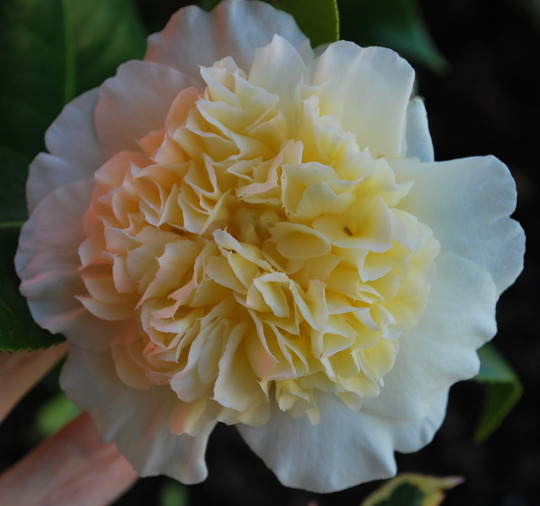 New Camellia Brushfield's Yellow. (Camellia Brushfields Yellow)