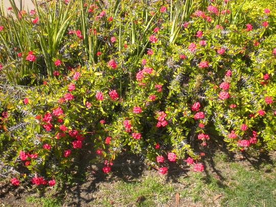 Dwarf Euphorbia milllii - Crown-of-Thorns (Euphorbia milllii - Crown-of-Thorns)