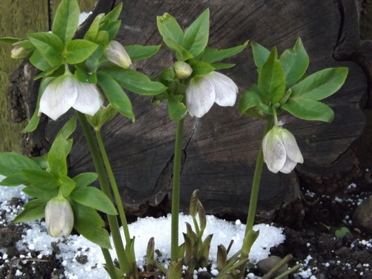 Hellebores Hillier Hybrids (White Spotted) (Helleborus 'Hillier hybrid White Spotted')
