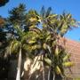 Royals (Roystonea regia) and Kentia (Howea forsteriana) Palms  (Roystonea regia; Howea fosteriana)