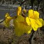 Tabebuia chrysotricha - Golden Trumpet Tree (Tabebuia chrysotricha - Golden Trumpet Tree)