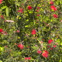Calliandra californica - Baja Fairy Duster (Calliandra californica - Baja Fairy Duster)
