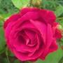 Paul's scarlet rose