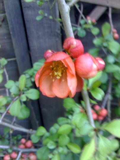 Japonica / Flowering Quince April '11 (Chaenomeles speciosa)
