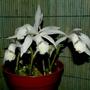 Pleione formosana cv 'Claire'