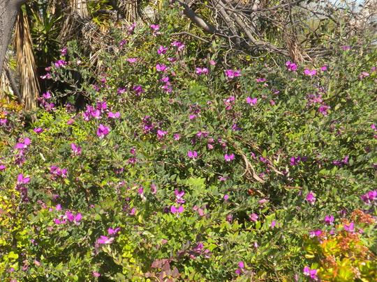 Polygala myrtifolia - Sweet Pea Shrub (Polygala myrtifolia - Sweet Pea Shrub)