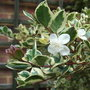 Luma appiculata 'Glanleam Gold' (Luma apiculata)